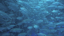 School Of Big Eye Trevally Swimming Towards Camera stock footage