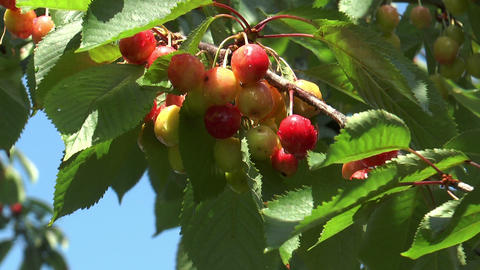 Cherries Ripening On Cherry Tree stock footage