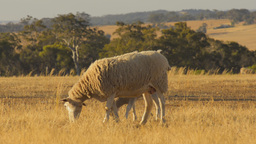 Ewe and Lamb Grazing in a Dry Paddock Footage