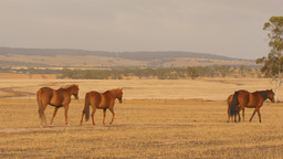 Horses wandering as they graze in a paddock Footage