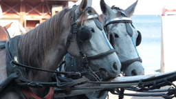 Cart horses standing Footage