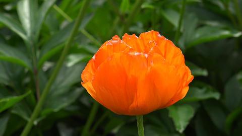 Orange poppy. 4K Footage