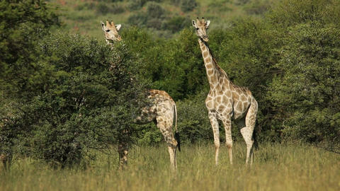 Giraffes in natural habitat Footage