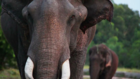 portrait of indian elephant Stock Video Footage