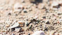 Ants Running Along The Path stock footage