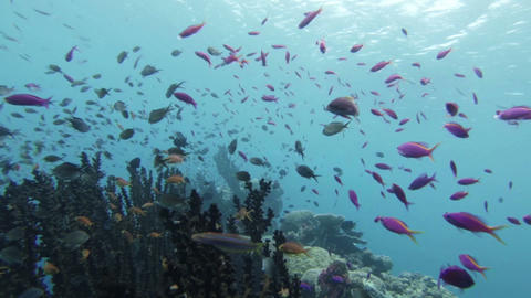 珊瑚礁に群れる熱帯魚 Footage