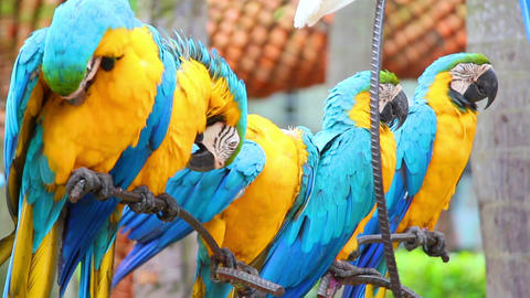 Group Of Shouting Colorful Parrot Macaw stock footage