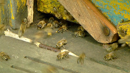 Bees flying with bee pollen into a hive. 1 Live Action