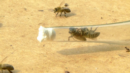 Queen bee caught into a glass tube during swarming Footage