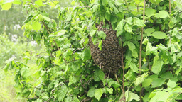 Swarm of bees clustered on the limb of a bush. 2 Live Action