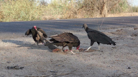 Vulture Steals Roadkill Carcass stock footage