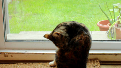 Cat licks her fur 2 Footage