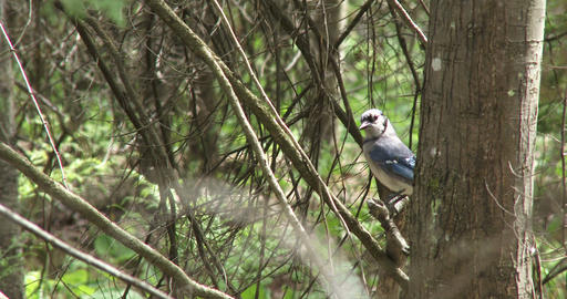 Blue Jay Bird On A Tree stock footage