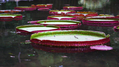 Panning shot of pink and green waterlilies in Botanical gardens Footage