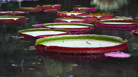 Panning shot of pink and green waterlilies in Botanical gardens Footage