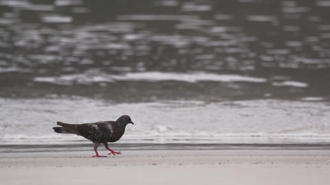 Shot of pigeon walking on the beach in Rio de Janeiro, Brazil Footage