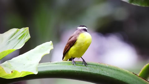 Yellow bellied bird perching on green stem in Rio, Brazil Footage