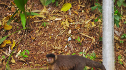 Pan slow motion jungle setting wih a Capuchin monkey moving down a tree trunk Footage