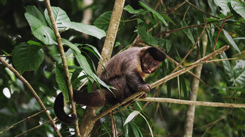 Capuchin monkey sitting on a tree branch sticks his tongue out Footage