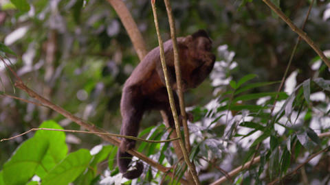 Capuchin monkey feeds from a tree Footage