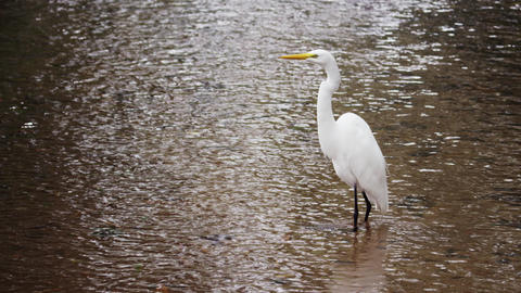 Full body shot of white egret in Rio Footage