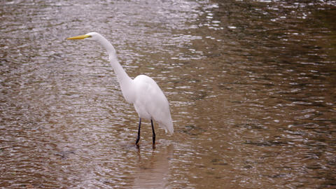 White bird wading in water in Rio Footage