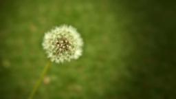 Close up shot of a Dandelion flower head Stock Foo Footage