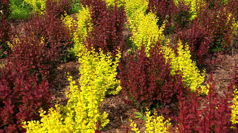 Red and yellow bushes of barberry. 4K Footage