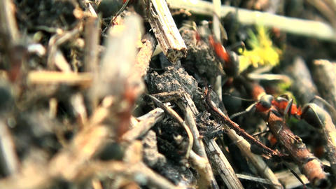 Ants using twigs to build an ant hill Footage