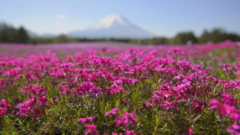 Phlox and Mt.Fuji,in Yamanashi,Japan Footage