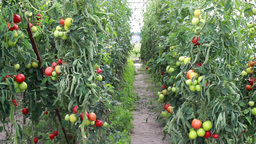 Organic Tomatoes In The Ecological Greenhouse stock footage