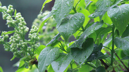Rain drops on leaves 2 Live Action