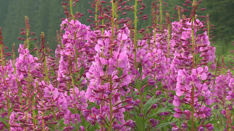 Fireweed and Bees 05 Footage