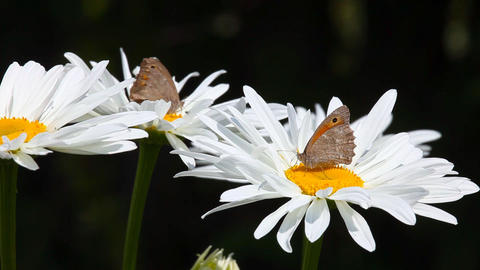 Butterflies on chamomile Stock Video Footage