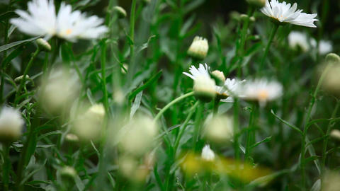 Garden daisy Stock Video Footage