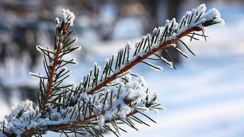 Snow on spruce branches Stock Video Footage