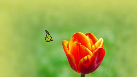 Tulip with butterfly Stock Video Footage