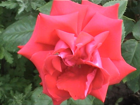 beautiful roses Stock Video Footage