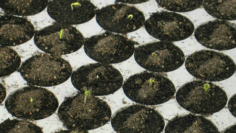 Time-lapse of growing cress plants in nursery 2 Footage