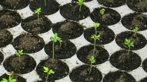 Time-lapse of growing cress plants in nursery 2 Stock Video Footage