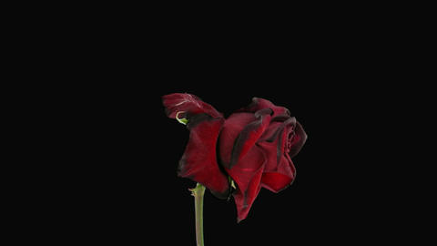 withering rose time lapse Stock Video Footage