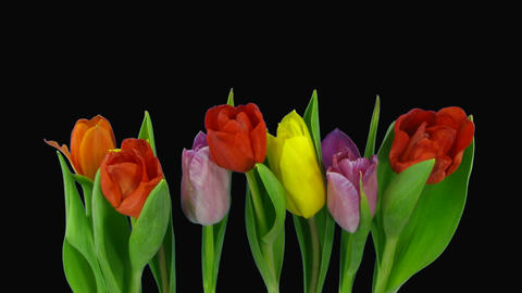 Time-lapse of opening mixed color tulips bouquet alpha matte 6 Footage