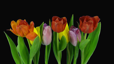 Time-lapse of opening mixed color tulips bouquet alpha... Stock Video Footage