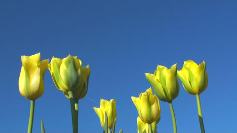 Tulips Stock Video Footage