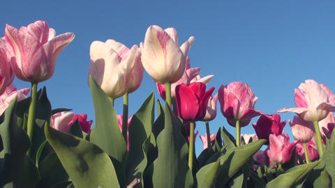 Tulips Live Action