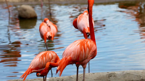 Flamingo stand in lake Stock Video Footage