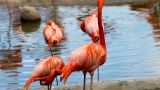 Flamingo Stand In Lake stock footage