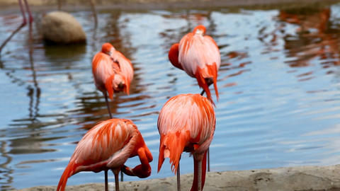 Flamingo stand in lake Footage