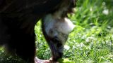 Black Vulture Eat Meat stock footage