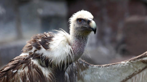 Griffin Vulture with open wing Stock Video Footage